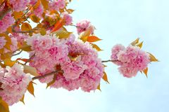 Horizontañ pink cherry branch in full bloom with blue sky background stock photography