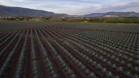 Horizont auf einem Gebiet der Agave Lizenzfreies Stockfoto