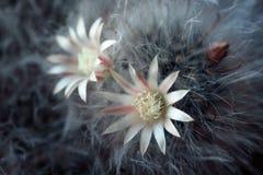 Horizontaal schot van bloeiende pluizige cactus met twee witte bloemen royalty-vrije stock foto's