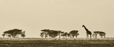 Horizontal africain avec la giraffe Images libres de droits
