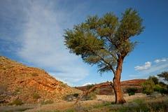 Horizontal africain d'arbre, Namibie Images stock