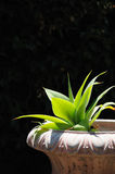 Horizontal agave in planter Stock Photo
