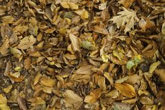 Horizontal Autumn leaves close up. Horizontal autumn leaves closeup in the woods Royalty Free Stock Photos