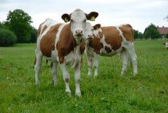 Horizontal avec la vache Photos stock