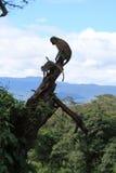 Horizontal avec le singe de vervet sur l'arbre Images libres de droits