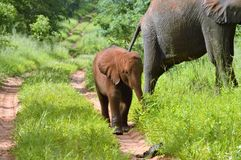 Horizontal of baby elephant  walking on bath. Baby elephant walk on path covered in sand, Horizontal Stock Photo