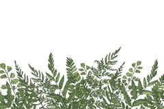 Horizontal background with beautiful ferns, wild herbs or green herbaceous plants growing at bottom edge on white. Background. Herbal backdrop or border Royalty Free Stock Photo
