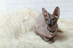 Horizontal background with Donsphinx cat in collar. Light gray horizontal background with Donsphinx cat in collar with diamonds Royalty Free Stock Photography