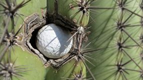 Extreme close-up of a golf ball stuck in the left side of a prickly Saguaro cactus in Arizona stock photography