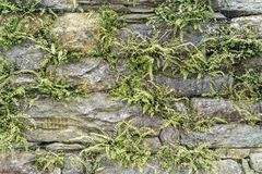 Horizontal background of an old stone and rock wall with moss and fern growing out of it. A horizontal background of an old stone and rock wall with moss and Stock Photography