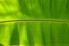 Horizontal banana Leaves texture Stock Photography