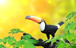 Horizontal banner with beautiful colorful toucan bird Stock Photo