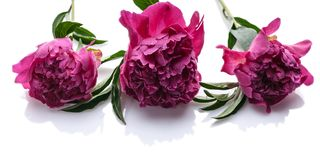 Horizontal banner: peonies isolated on white background. Wedding decoration royalty free stock photography