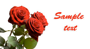 Horizontal banner with three roses and copyspace Stock Photography