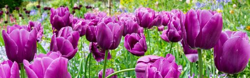 Horizontal banner of Tulips Royalty Free Stock Photo