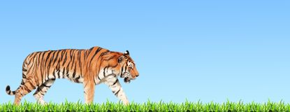 Horizontal banner with walking tiger and green grass Royalty Free Stock Images