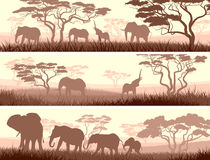 Horizontal banners of wild animals in African savanna. Horizontal abstract banners of wild elephants in African savanna with trees Stock Images