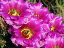 Horizontal of Beaver Tail Cactus Blooms Royalty Free Stock Photography