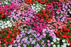 Horizontal bed of flowers Stock Image