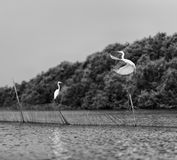 Horizontal black and white stork couple playing love games. Horizontal vivid black and white stork couple love games on river background backdrop royalty free stock photography