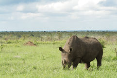 Horizontal blanc de rhinocéros Photos stock