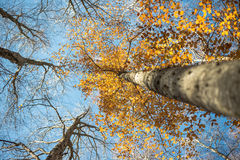 Horizontal blurred beech trunk and focused colorful autumn treet Royalty Free Stock Photos