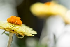 Horizontal blurry image of an orange flower with yellow petals w. Ith a soft bokeh green background image with some space for text royalty free stock photography