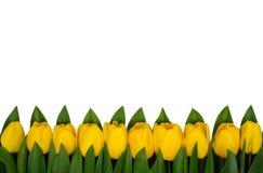 Horizontal border of yellow tulips Stock Image