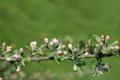 Branch of apple tree with pink flower buds stock photos