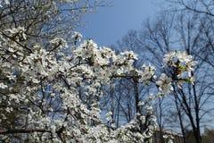 Horizontal branch of Prunus cerasifera in bloom. Against blue sky royalty free stock images