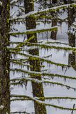 Horizontal branches with moss hanging below and snow on top royalty free stock photos