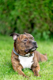 Horizontal bull breed photo. Staffordshire bull terrier lying on Royalty Free Stock Photography