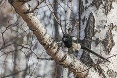 Horizontal close-up image of a black eyed grey crow Corvus corone, krahe sits on a birch branch stock images