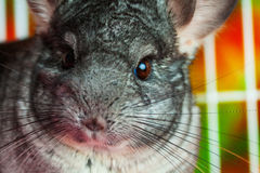 Horizontal close up picture of chinchilla Royalty Free Stock Images