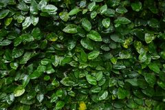 Horizontal close-up range watery creeping fig vine background. Watery creeping fig vine background green garden tree nature forest plant natural woods wallpaper royalty free stock photo