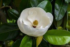 Perfect Magnolia Blossom Royalty Free Stock Image