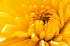 Horizontal close up of a yellow rose. Extreme macro Stock Images