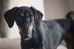 Horizontal closeup of a black floppy eared saluki puppy that looks straight at the camera.  stock image