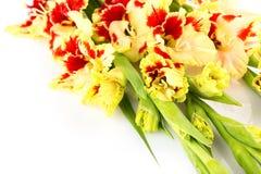 Horizontal colorido brillante rojo y amarillo del gladiolo aislado Fotografía de archivo libre de regalías