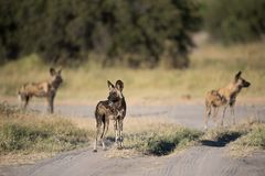 A horizontal, colour image of three African wild dogs, Lycaon pi Royalty Free Stock Images