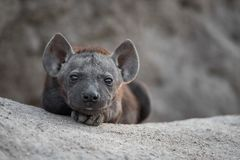 A cute, tiny black hyena pup. A horizontal, colour image of a tiny black spotted hyena pup, Crocuta crocuta, staring at the camera from the mouth of its sandy Royalty Free Stock Image