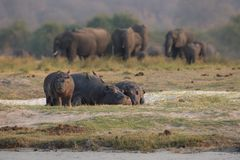 Hippos grazing while elephants walk past royalty free stock photography