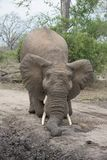 An African elephant playing on a dirt road in the Greater Kruger Transfrontier Park. A horizontal, colour photograph of an elephant, Loxodonta africana, facing Royalty Free Stock Photos