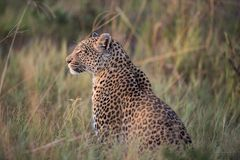 A horizontal, colour photograph of a leopard, Panthera pardus, s Stock Photo