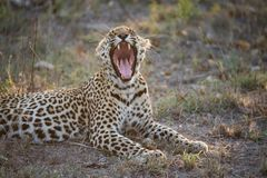 A leopard yawning, exposing long, sharp canine teeth. A horizontal, colour photograph of a leopard, Panthera pardus, yawning hugely, mouth open towards the Stock Photos