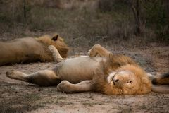 Two lions resting, one exposing his belly. A horizontal, colour photograph of a male lion, Panthera leo, with his eyes open and full belly exposed in a comical Royalty Free Stock Photos