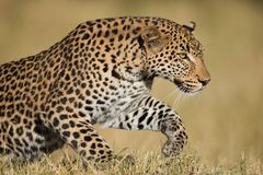 A horizontal, colour photograph of a stunning male leopard, Pant Royalty Free Stock Photos