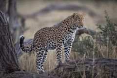 A horizontal, colour photograph of a stunning young leopard, Pan Royalty Free Stock Photography