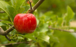 Horizontal Composition Red Apples Growing Eastern Washington Royalty Free Stock Images