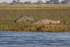 Horizontal crocodiles couple Royalty Free Stock Photography